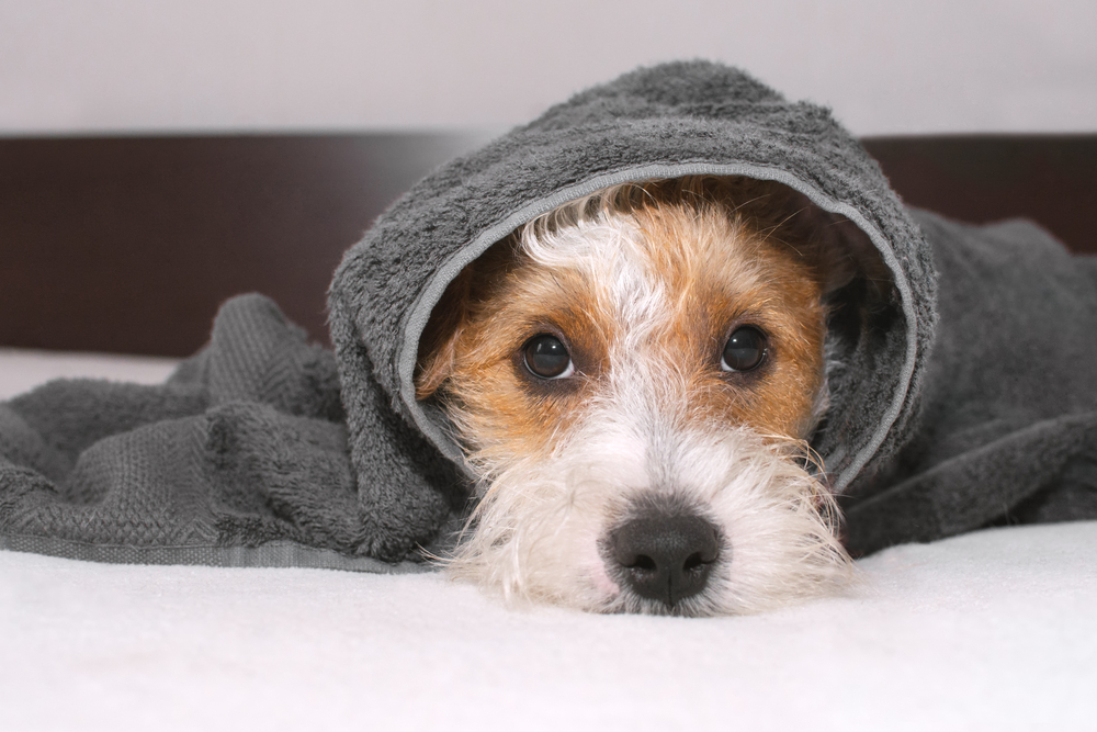 A dog hiding from the storm under a blanket.